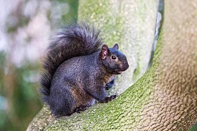 Black Squirrel In A Tree Poster by John Devries