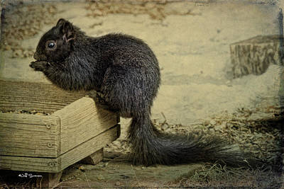 Black Squirrel Poster by Jeff Swanson