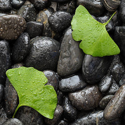 Black Stones And Ginko Leaves Square Poster by Steve Gadomski