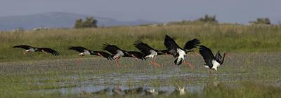 Black Stork Landing. Poster