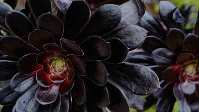 Black Succulent Poster