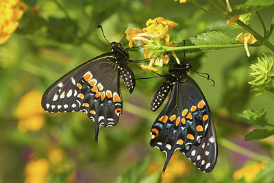Black Swallowtail Butterflies Papilio Poster by Panoramic Images