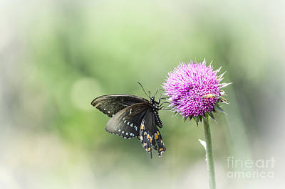 Black Swallowtail Dreaming Poster by Debbie Green