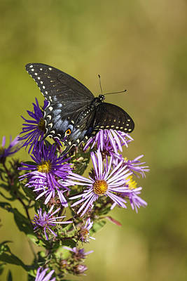 Black Swallowtail On Aster Flower 2 Poster by Thomas Young