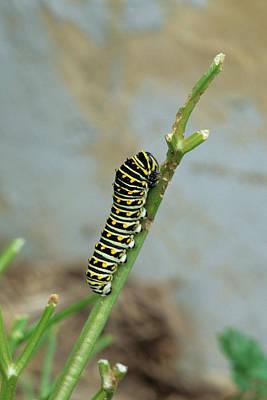 Black Swallowtail (papilio Polyxenes Poster