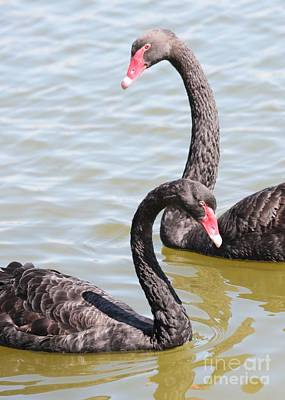 Black Swan Pair Poster by Carol Groenen