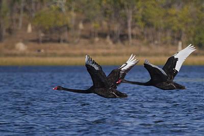 Black Swans In Flight Poster by Mr Bennett Kent