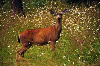 Black-tailed Deer In Meadow, Doe Bay Poster by Michel Hersen