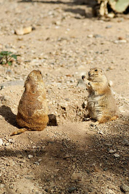 Black Tailed Prairie Dogs Poster by Daniel Hebard