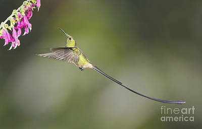 Poster featuring the photograph Black-tailed Trainbearer Hummingbird by Dan Suzio
