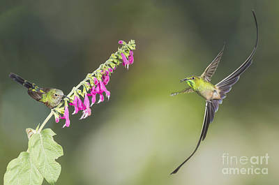 Poster featuring the photograph Black-tailed Trainbearer Hummingbirds by Dan Suzio