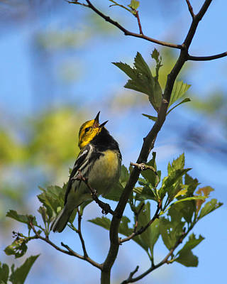 Black-throated Green Warbler Poster by Brian Magnier