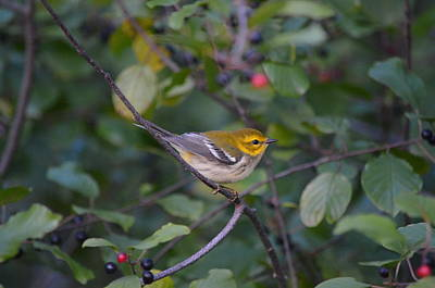 Poster featuring the photograph Black-throated Green Warbler by James Petersen
