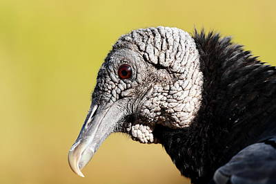Black Vulture Portrait Poster