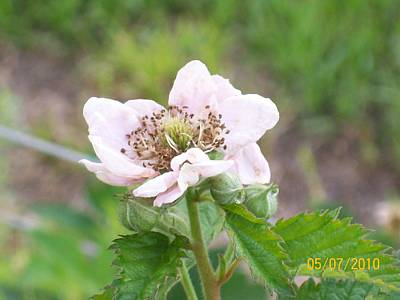 Blackberry Blossom Poster by Belinda Lee