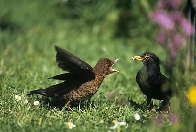 Blackbird Feeding Young Poster by John Daniels