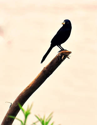 Blackbird On A Stick Poster by Chris Flees