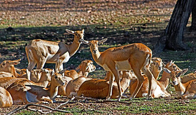 Blackbuck Female And Fawns Poster