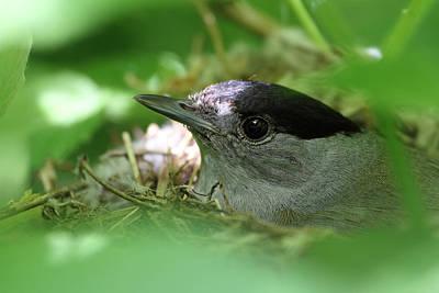 Blackcap On The Nest Poster by Alex Sukonkin