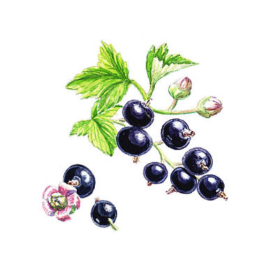 Blackcurrant Botanical Study Poster