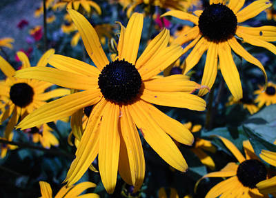 Poster featuring the photograph Blackeyed Susan Abstract by Mary Bedy