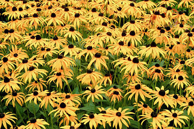 Poster featuring the photograph Blackeyed Susan by Geraldine Alexander
