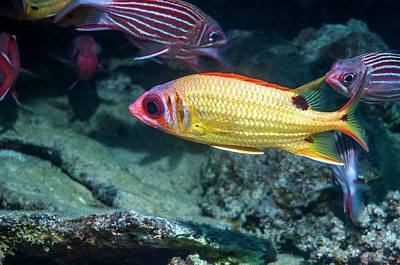 Blackspot Squirrelfish On A Reef Poster