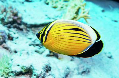 Blacktail Butterflyfish Poster by Georgette Douwma