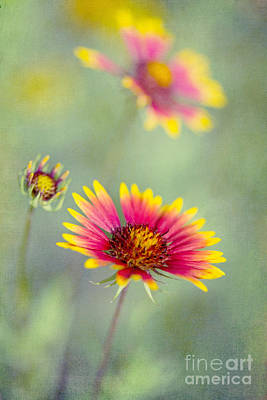 Blanket Flowers Poster by Elena Nosyreva