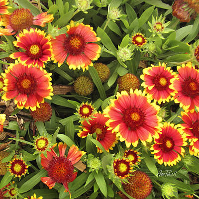 Blanket Flowers  One - Photography Poster by Ann Powell