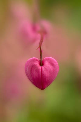 Bleeding Heart Flower Poster