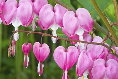 Bleeding Heart Flowers Poster by Keith Webber Jr