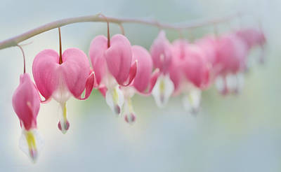 Bleeding Heart Pink Flowers In A Row Poster by Jennie Marie Schell