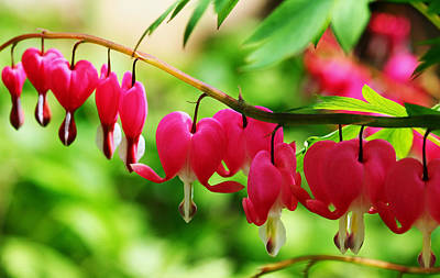 Romantic Bleeding Hearts Poster