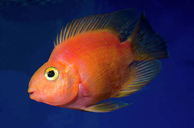 Blood Parrot Cichlid Poster by Nigel Downer