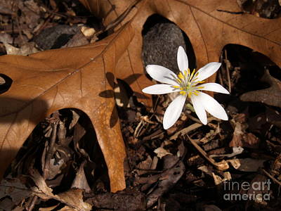 Bloodroot On Forest Floor - Pennsylvania Poster by Anna Lisa Yoder