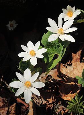 Bloodroot Wildflowers In Shadow Poster by John Burk