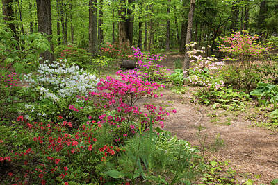 Blooming Azaleas At Azalea Path Poster by Panoramic Images