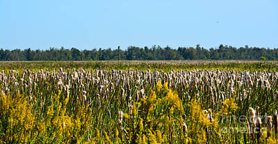 Blooming Cattails As Far As The Eye Can See Poster by Christine Dekkers