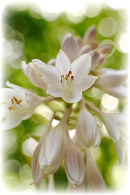 Blooming Hosta Poster