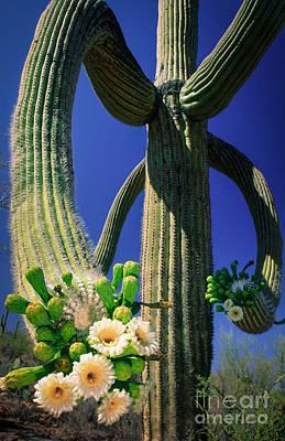 Blooming Saguaro Poster by Inge Johnsson