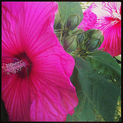 Blosssoms And Buds Hibiscus  Poster by Brittany Perez