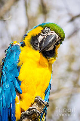 Blue And Gold Macaw Parrot Poster