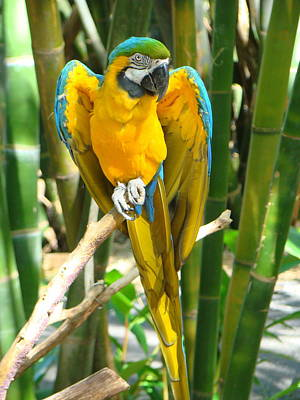 Poster featuring the photograph Blue And Gold Macaw by Phyllis Beiser