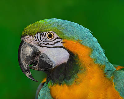 Blue And Gold Macaw Poster by Tony Beck