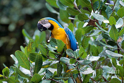 Blue And Yellow Macaw Poster by Art Wolfe