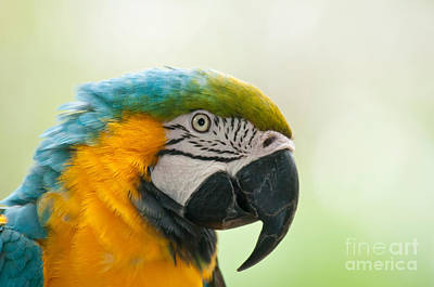 Blue-and-yellow Macaw Poster by Mark Newman