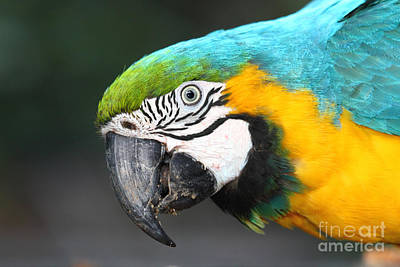 Blue And Yellow Macaw Portrait Poster by James Brunker