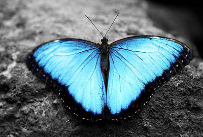 Blue Angel Butterfly 2 Poster