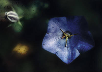 Blue Balloon Flower In The Shadows Poster by Louise Kumpf